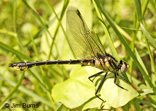 Midland Clubtail teneral male in grass, Pine Co., MN, June 2014