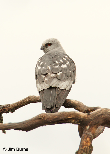 Mississippi Kite female perched