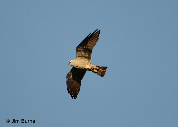 Mississippi Kite in flight ventral view