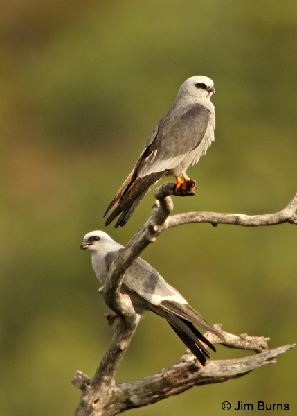 Mississippi Kite pair, male on bottom
