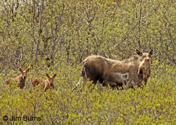 Moose cow with twins