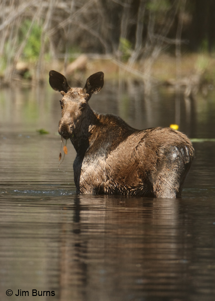 Moose spike bull eating in lily pond