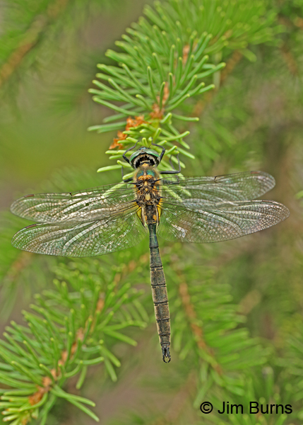 Mountain Emerald male dorsal view, Summit Co., UT, July 2016
