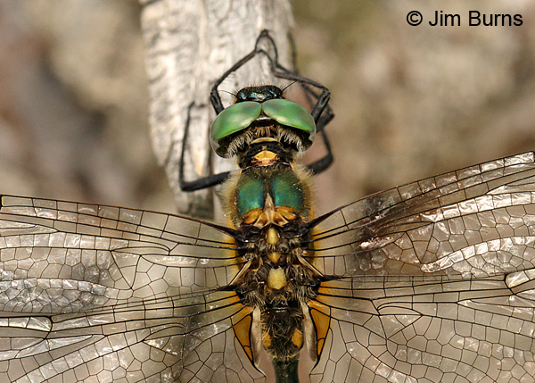 Mountain Emerald male top shot, Summit Co., UT, July 2016