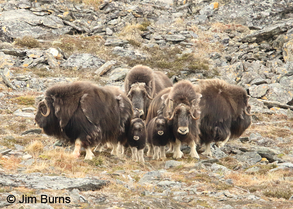 Musk Ox herd defensive posture, calves in the middle