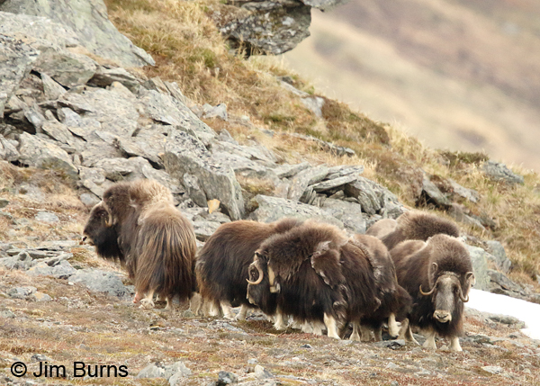Musk Ox herd strategy, circling the calves
