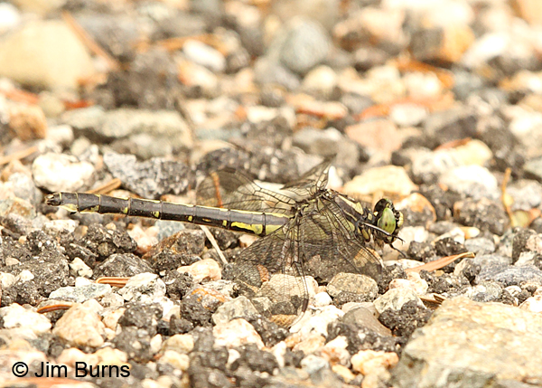 Mustached Clubtail female, Coos Co., NH, July 2014