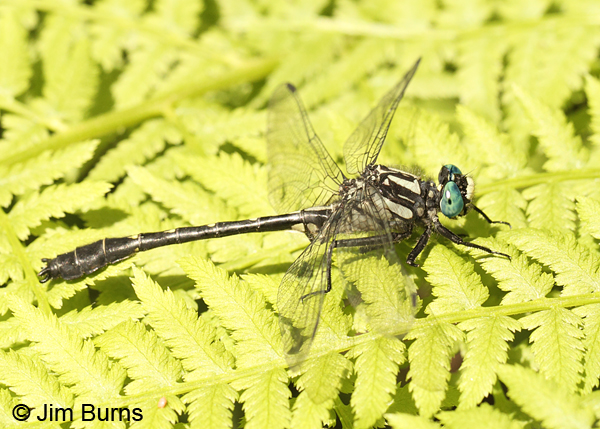Mustached Clubtail male, Rusk Co., WI, June 2014