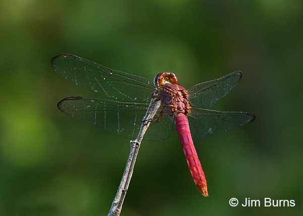Neon Skimmer male, Gonzales Co., TX, August 2017