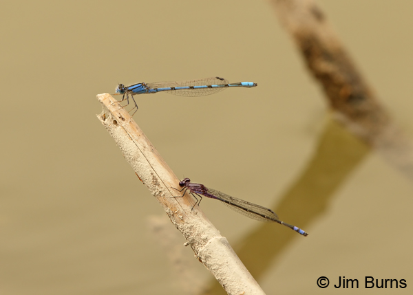 Neotropical Bluet (bottom) with Familiar Bluet, males, Hidalgo Co., TX, March 2013