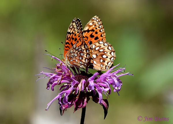 Nokomis Fritillaries on Bee Balm, Arizona