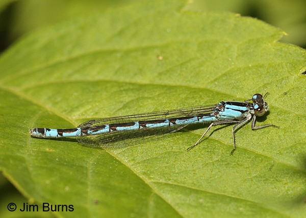 Northern Bluet andromorph female, Rusk Co., WI, June 2014