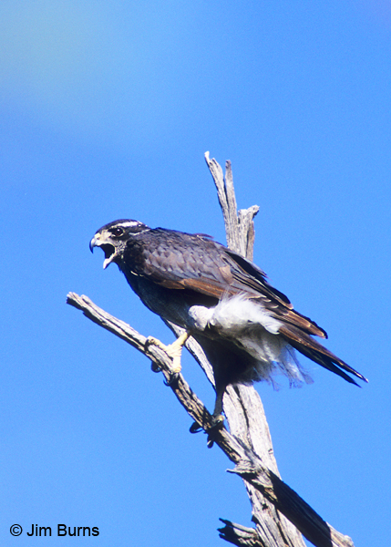 Northern Goshawk adult calling