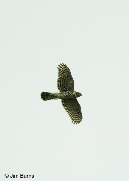 Northern Goshawk immature in flight