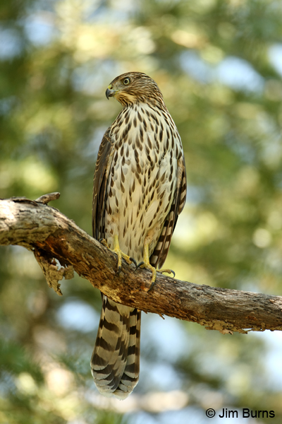 Northern Goshawk juvenile perched