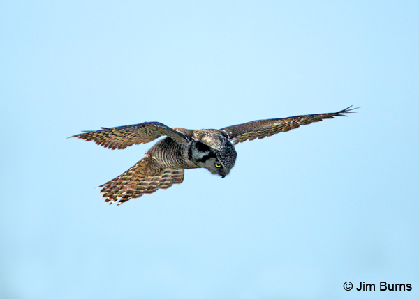 Northern Hawk Owl hover hunting