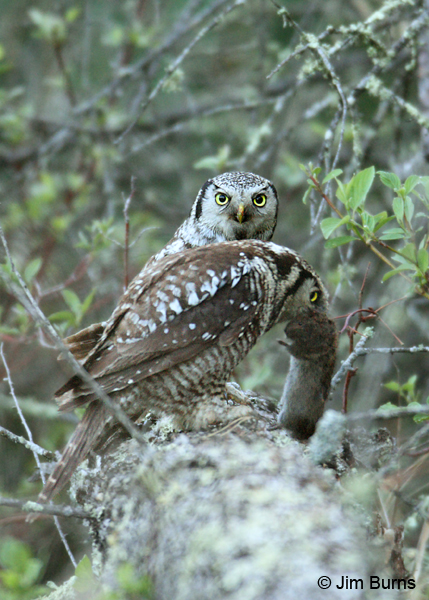 Northern Hawk Owl prey exchange