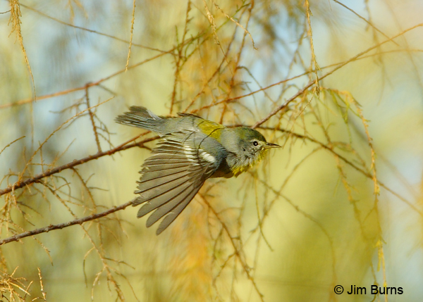 Northern Parula female in flight