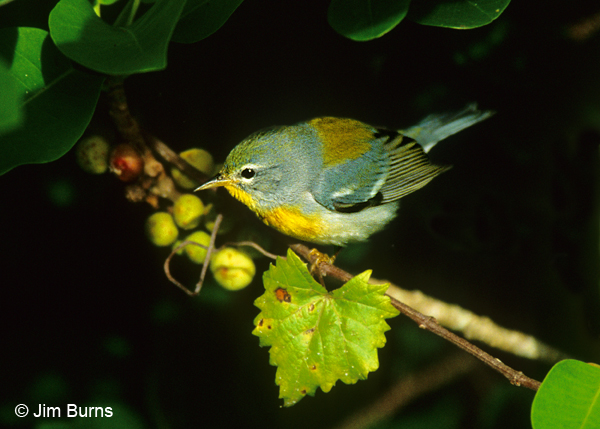 Northern Parula in greenery
