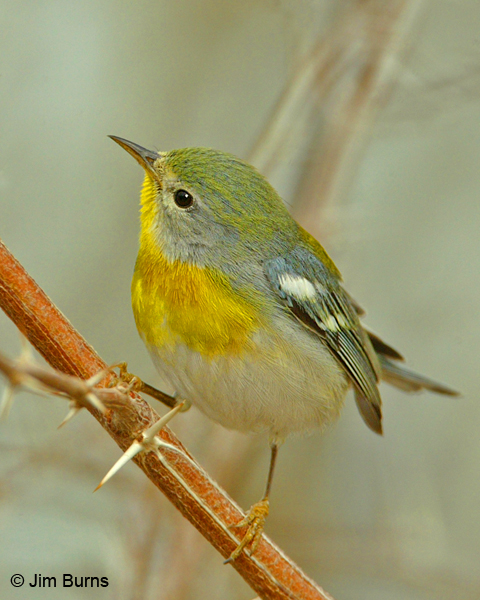 Northern Parula female