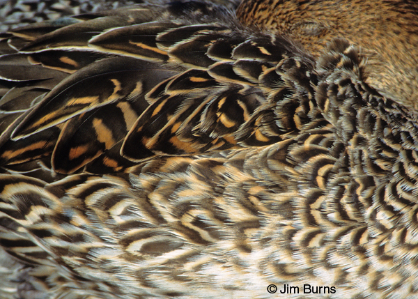 Northern Pintail female feather detail