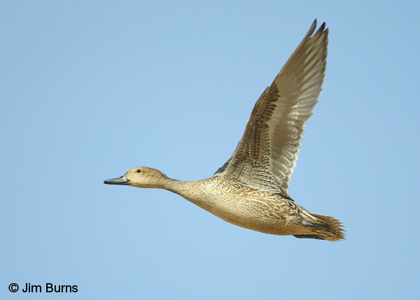 Northern Pintail female in flight