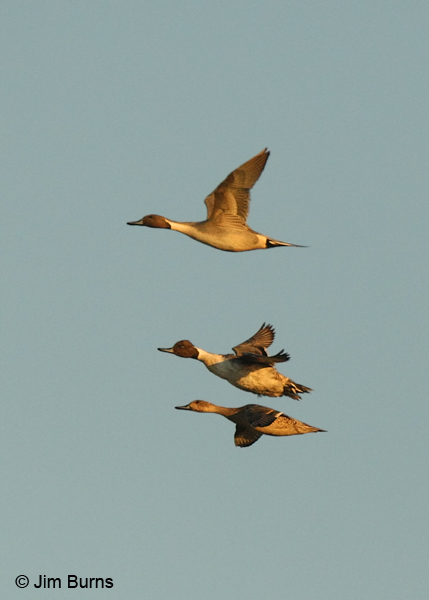 Northern Pintail flight stack