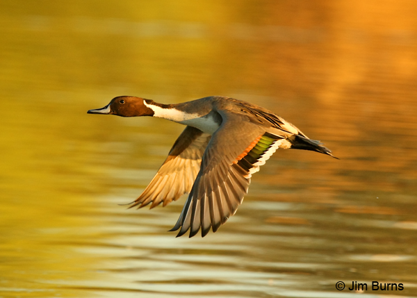 Northern Pintail male in flight
