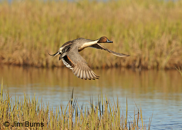 Northern Pintail male over marsh