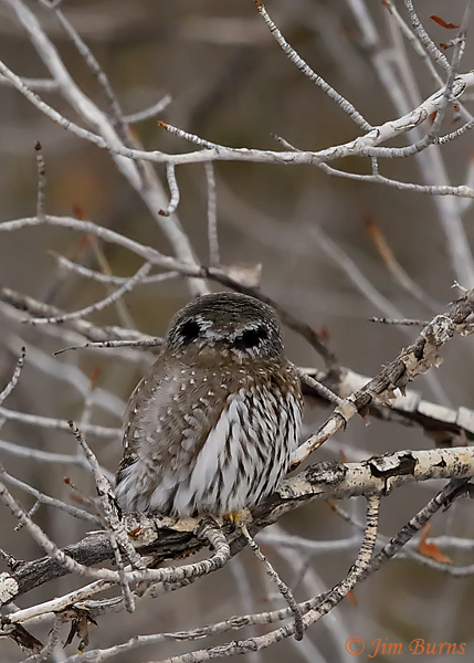 Northern Pygmy-Owl false eye spots--6815