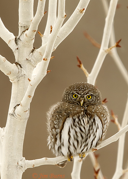 Northern Pygmy-Owl fluffed out against the cold--7053