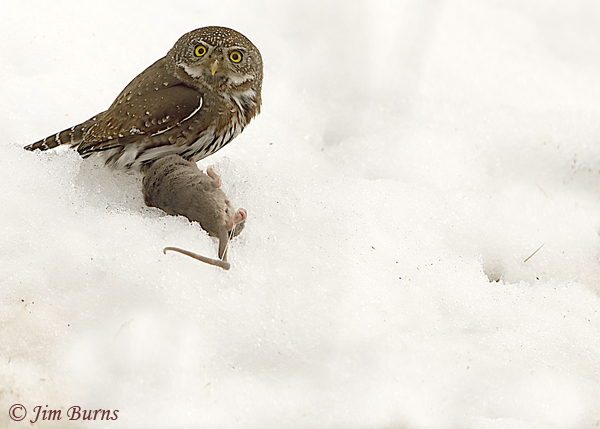 Northern Pygmy-Owl with prey #2--7081
