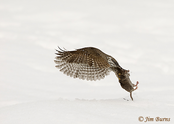 Northern Pygmy-Owl in flight with prey--7099