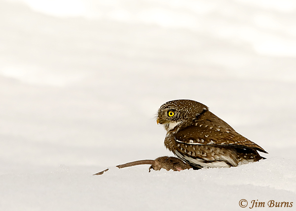 Northern Pygmy-Owl with prey--7126