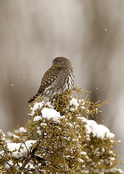 Northern Pygmy-Owl Christmas card--7248