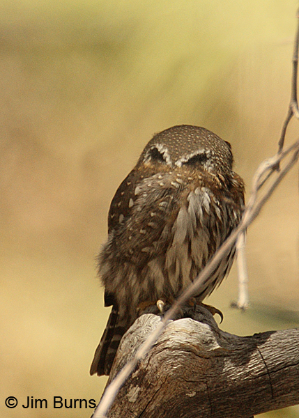 Northern Pygmy-Owl false eye spots #2