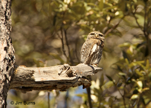 Northern Pygmy-Owl female on pine stub