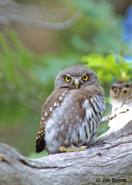 Northern Pygmy-Owl on branch