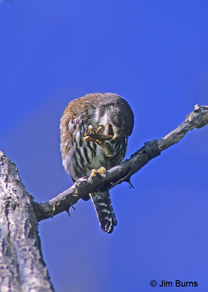 Northern Pygmy-Owl plucking grasshopper