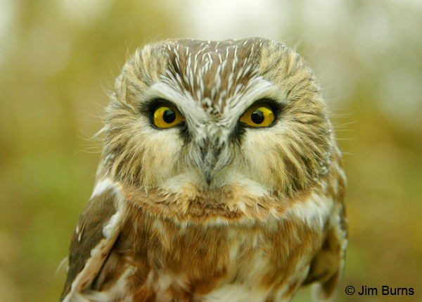 Northern Saw-whet Owl head shot