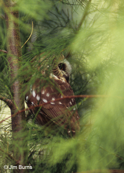 Northern Saw-whet Owl in tamarisk