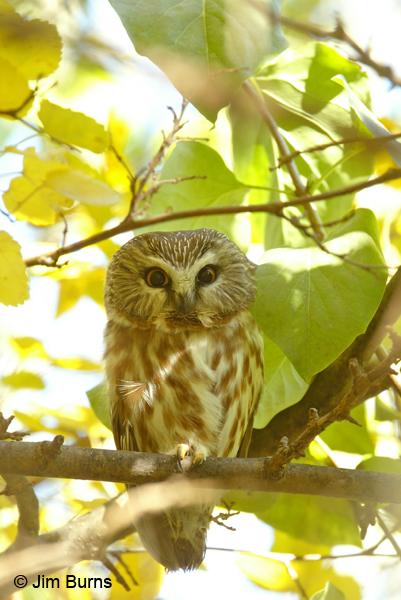 Northern Saw-whet Owl in tree