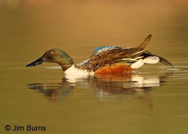 Northern Shoveler male wing stretch