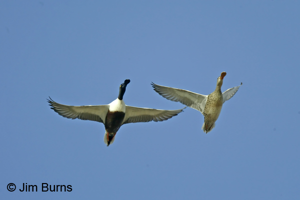 Northern Shoveler pair in flight