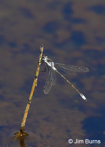Northern Spreadwing male, Matanuska-Susitna Co., AK, August 2016