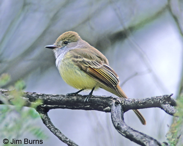 Nutting's Flycatcher dorsal