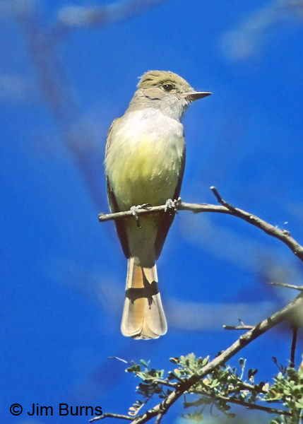 Nutting's Flycatcher ventral
