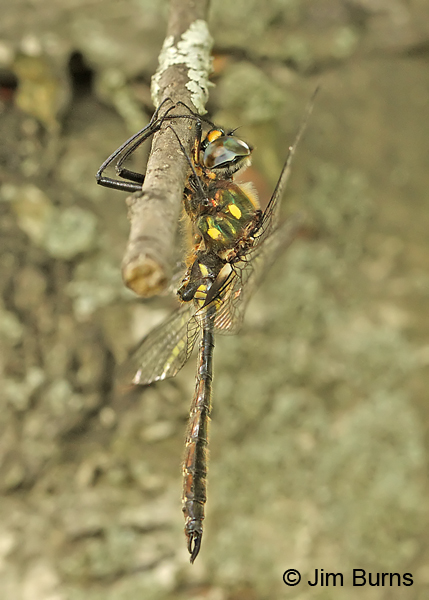 Ocellated Emerald male, Essex Co., VT, July 2014