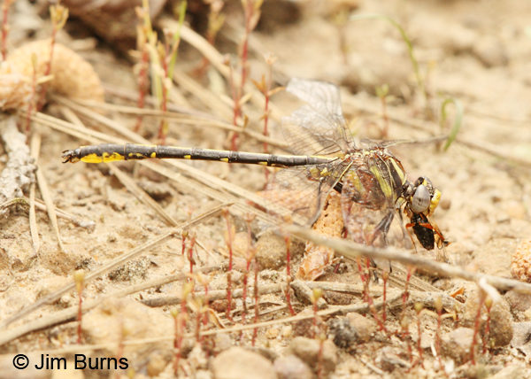 Oklahoma Clubtail male eating beetle, San Jacinto Co., TX, March 2013