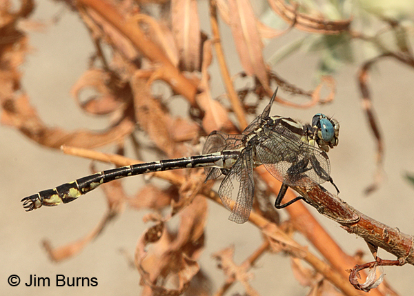 Olive Clubtail male, Clark Co., WA, August 2015